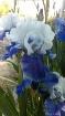 Iris on Commonwea...
